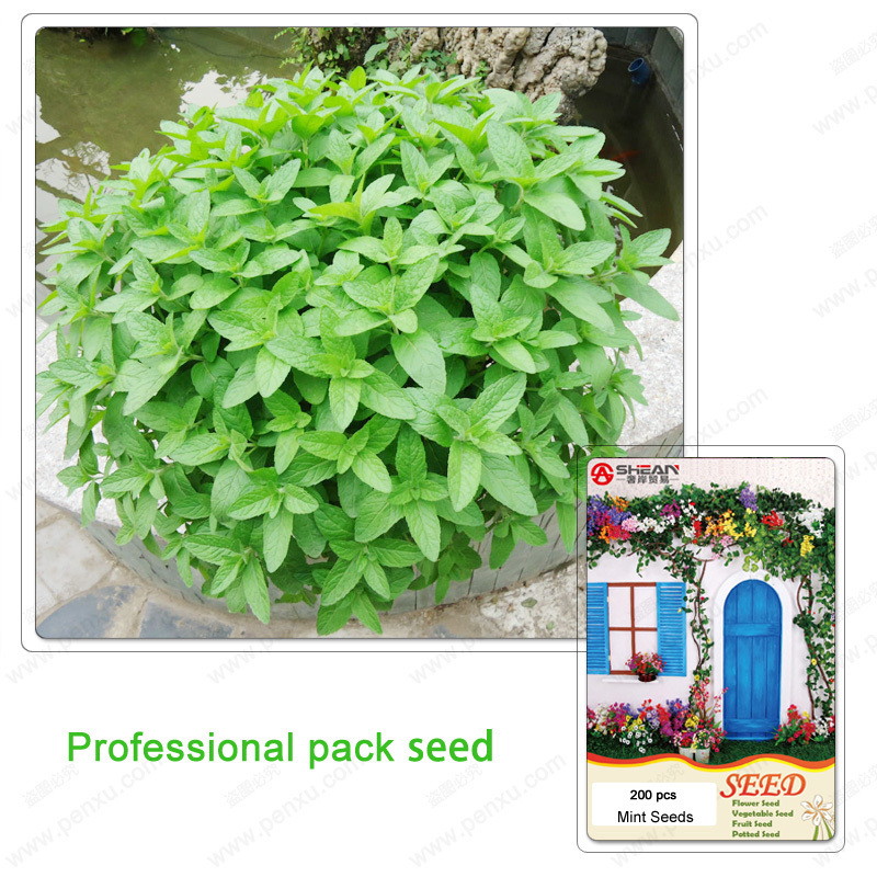 Mint Seeds A Professional Pack Balcony Potted Bonsai Plant Peppermint Seeds