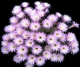 Rare Echinopsis Multiplex Oxygona Exotic Easter Lily Cactus Seed Cacti 20, Seeds - $18.00