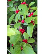 Winterberry Holly - $10.00