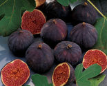 """Edible Fig - Chicago Hardy - Starters - 6 Live Plants - 2"""" Pot Size - $65.54"""