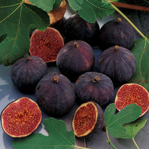 "Edible Fig - Chicago Hardy - Starters - 6 Live Plants - 2"" Pot Size - $68.99"