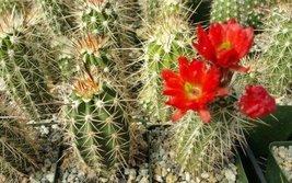 1 Starter Plant of Echinocereus Pacificus - $31.19