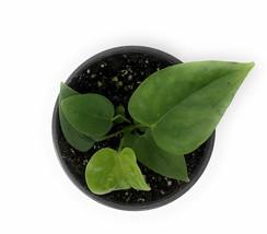 "4"" Pot White Dove Anthurium Anthurium sp. White Dove - Gardening - FREESHIPPING - $48.00"
