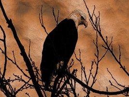 Eagle Poster Animal Poster Eagle Art Animal Art Eagle Print 24x36 (EAGLE3) - $29.99