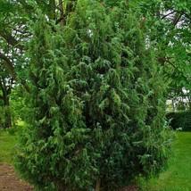 COMMON JUNIPER Juniperus Communis 5 Seeds MCS04 - $27.17