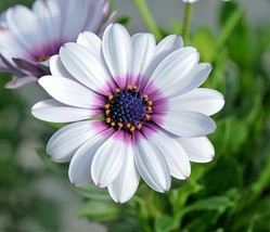 1000+CAPE African DAISY Flower Seeds Wildflower Drought Tolerant Long Bl... - $7.00