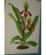 Lindenia Limited Edition Orchid Print Cypripedium Louisa Fowler Paphiope... - $15.19