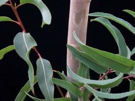 2 Variety Very Fragrant Eucalyptus Citriodora Fresh Tree Seeds #IMA49 - $14.99+