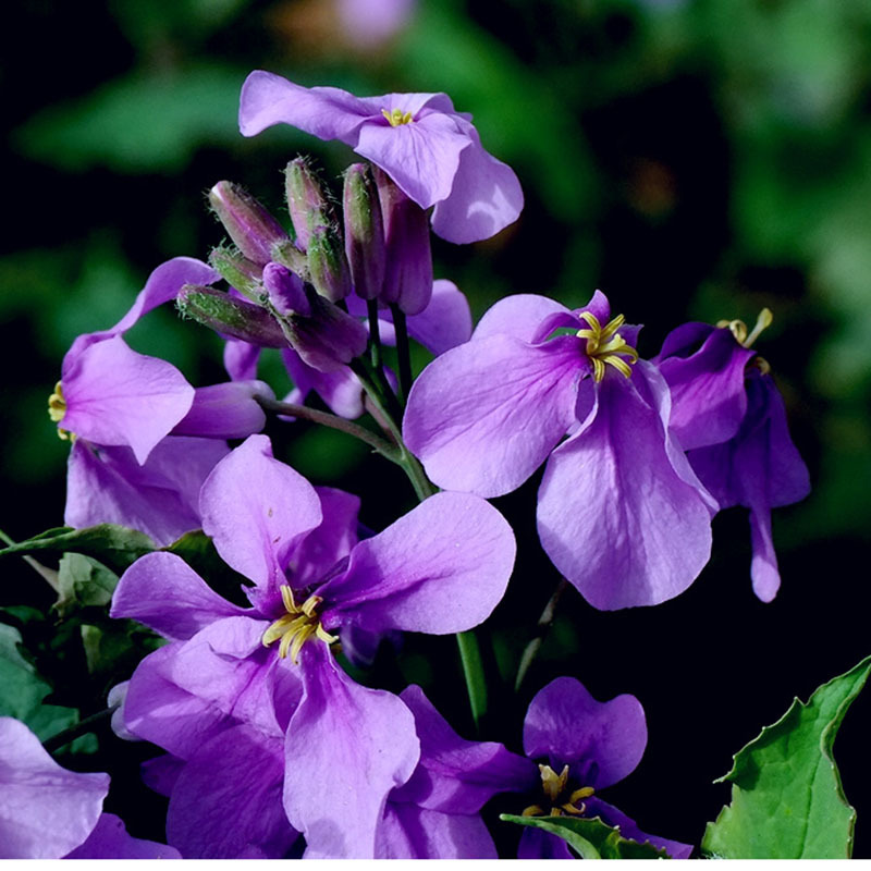 Primary image for Orychophragmus Violaceus Flower Seeds Bonsai Ornamental Seed Original Package