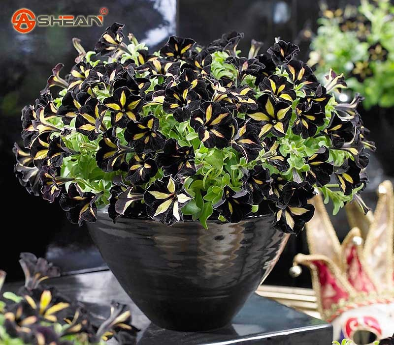 Primary image for Black Color Star Petunia Seeds Garden And Patio Potted Plant Morning Glory Seeds
