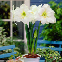 Amaryllis Lily White Papper Bulbs Flowers Symbolizes Love (Papilio Hippe... - $4.50