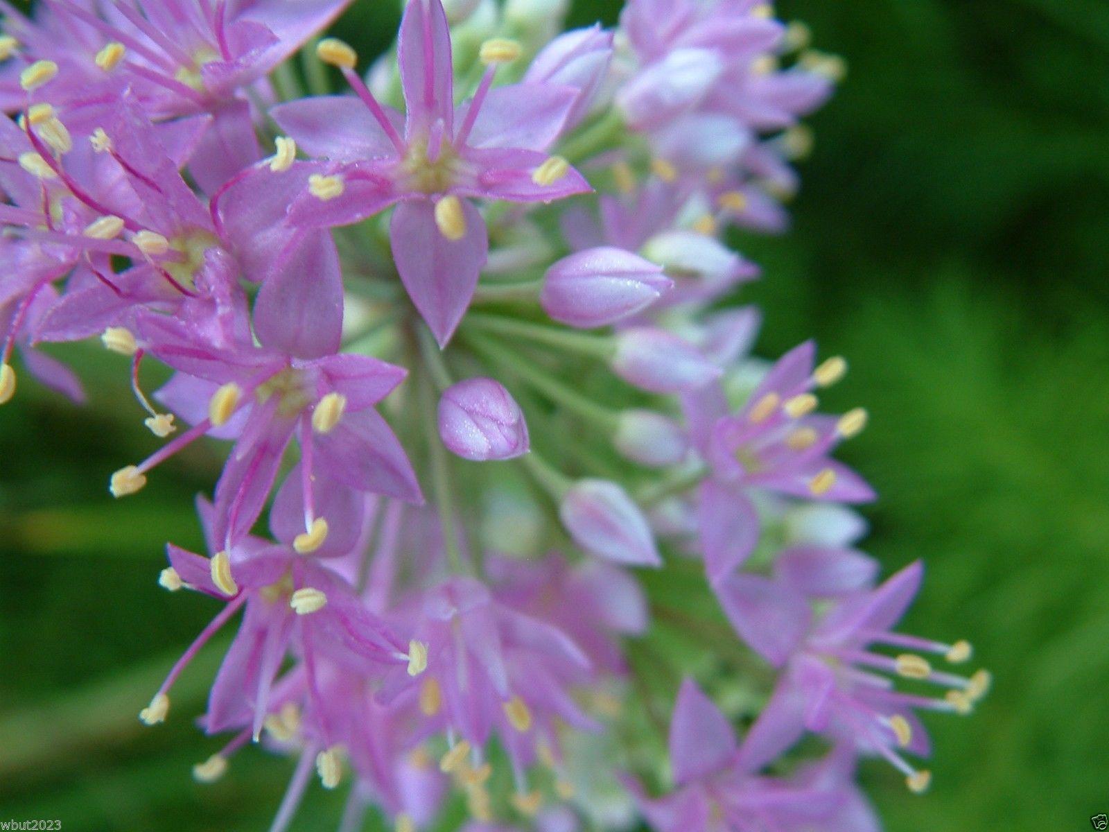 Allium stellatum Prairie ion flower and 49 similar items