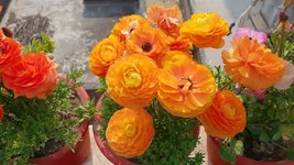 10 Bulbs Ranunculus Picotee Orange (Persian Buttercup) Fully double flowers - $8.75