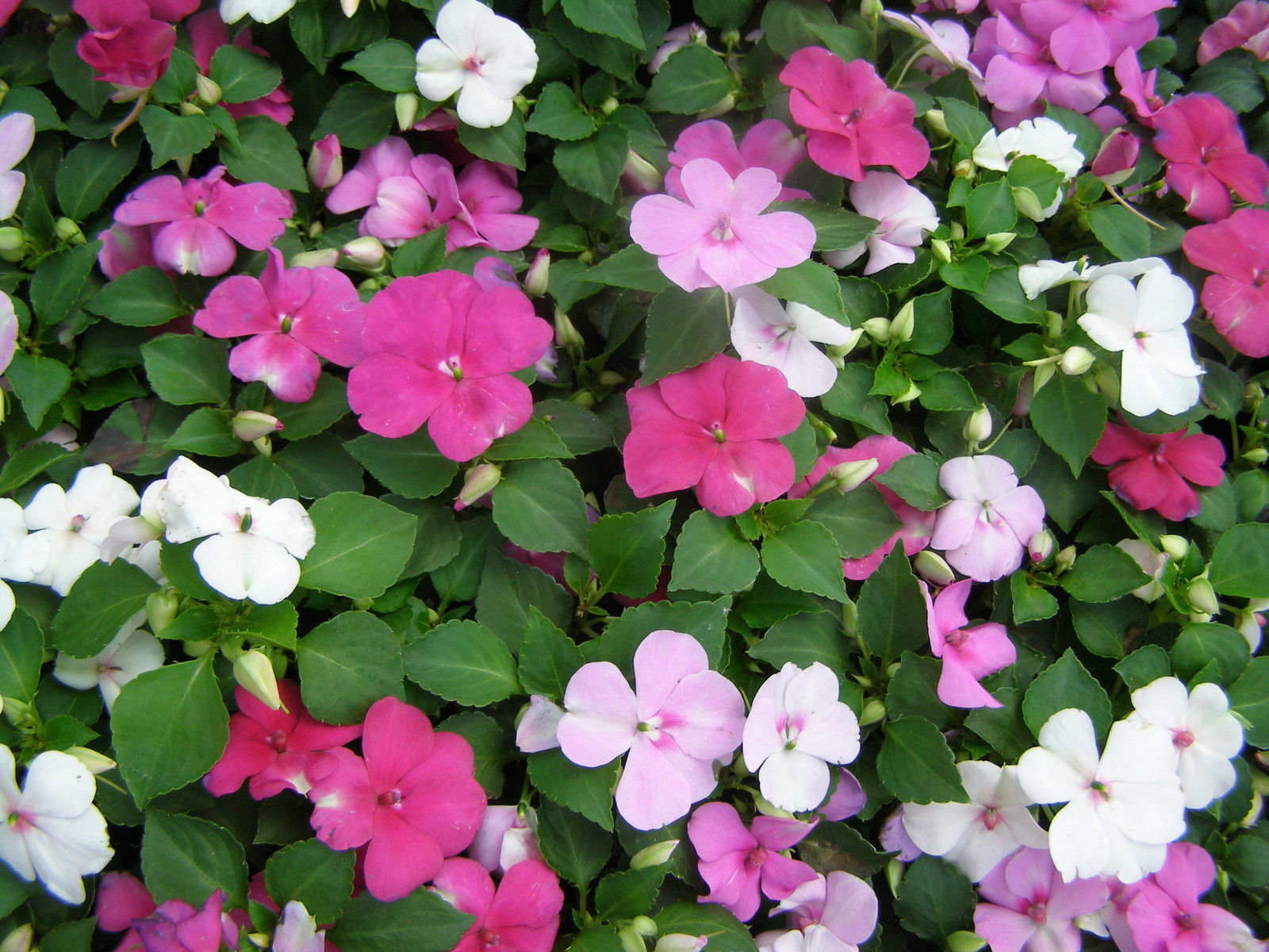 Impatiens mix flower seeds drought tolerant shade - Shade tolerant flowers ...