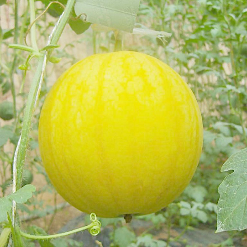 Primary image for Original Pack Water Melon Seeds Bonsai Plant Fruits Vegetable Yellow Watermelon