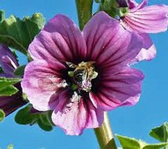 Rose Mallow, 25+ Seeds, Organic, Beautiful Bright Rose Flowers, Flower, ... - $5.70