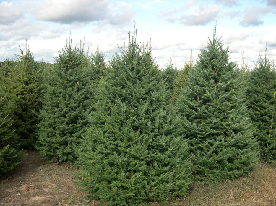 """8""""-12"""" white Spruce Trees 10 pack"""