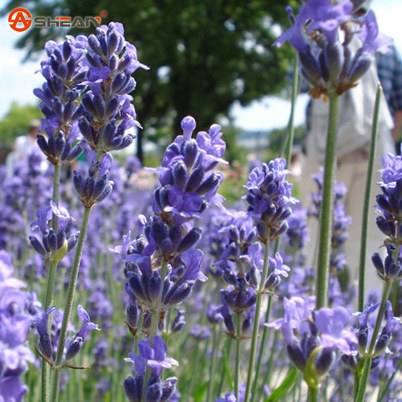 Garden Bush: French Provence Lavender Seeds Potted Plant Seeds Very