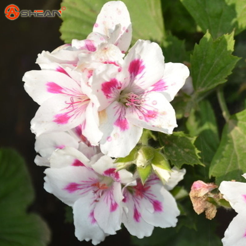 Garden Roses Flower Petal: Crimson Flower Petals Geranium Seeds Pelargonium Flowers