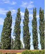 Poplar Tree Live Plant - 10 Cuttings - Privacy Very Fast Growing Privacy - $39.70