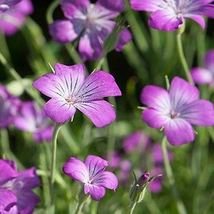 Agrostemma Purple Queen Flower Seeds (Agrostemma Githago) 50 Seeds - $11.99