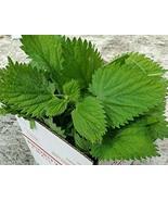 8 Oz. Fresh Cut Stinging Nettle Plant Tops (Cut and Shipped Same Day) Li... - $35.64