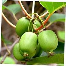 ACTINIDIA 'ISSAI' LIVE PLANT- HARDY, HAIR FREE MINI KIWI -FAST SHIPPING - $34.00