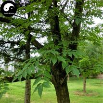 Buy Phellodendri Seeds 50pcs Plant Phellodendron Amurense For Huang Bai - $5.99