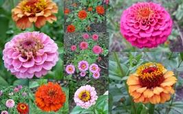 50 Seeds - Non GMO - Mix Zinnia Elegans Lilliput Flower - $3.99
