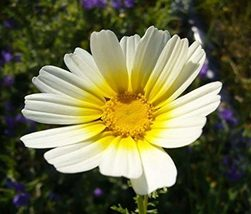 2000 Garland Daisy Wildflower Flower Seeds - $7.99