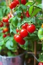 Tiny Tim Tomato 50 seeds Heirloom Non GMO ez grow Sweet Mini CombSH B72 - $13.58