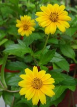5 WEDELIA LIVE PLANT CUTTINGS YELLOW DOTS CREEPING SINGAPORE DAISY FLOWERS  - $24.99