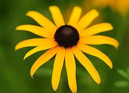 Black Eyed Susan 2000 Flower Seeds - $15.98