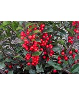 China Girl Holly Evergreen Five Plants - $37.62