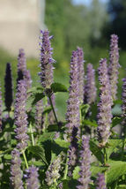 SHIPPED FROM US 800 Anise Hyssop Herb Licorice Scented Foliage Seeds, GS04 - $13.00