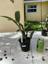 CATTLEYA  Blc. Prada Green Deluxe Orchid Plant Pot BLOOMING SIZE 0504 V image 2