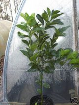 Valencia Orange CITRUS Fruit 3 gal.Tree LIVE 3 gal. 3' tall  - $54.99
