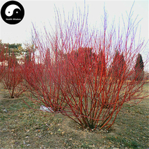 Buy Swida Alba Opiz Tree Seeds 120pcs Plant Cornus Alba Tree Hong Rui Mu - $15.99