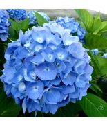 10 Blue Hydrangea Seeds Evergreen Flowers - $18.96