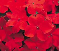 "50+ HEIRLOOM ANNUAL FLOWER SEEDS - IMPATIENS ""BABY SCARLET"" OLD TMEY FAV... - $5.29"