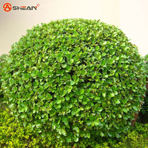 Real Boxwood Bonsai Seeds Insect Repellent Boxtree Bonsai Plants seeds - $5.99