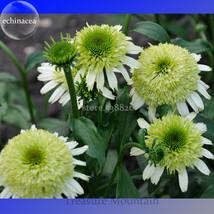 Heirloom 'Honeydew Cluster' Green Echinacea, 100 Seeds, big blooms lovely conefl - $6.22
