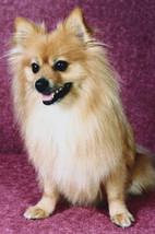 Pomeranian Dog Breed Checkbook Cover Pomeranians - $8.00