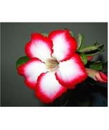 1 Pcs Red-White Desert Rose plant Bonsai Flowers Adenium obesum  Easy To... - $0.66