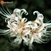 White Lycoris Species of Fresh Bulbs, White Lycoris Bulbs - 2 pcs - $6.99