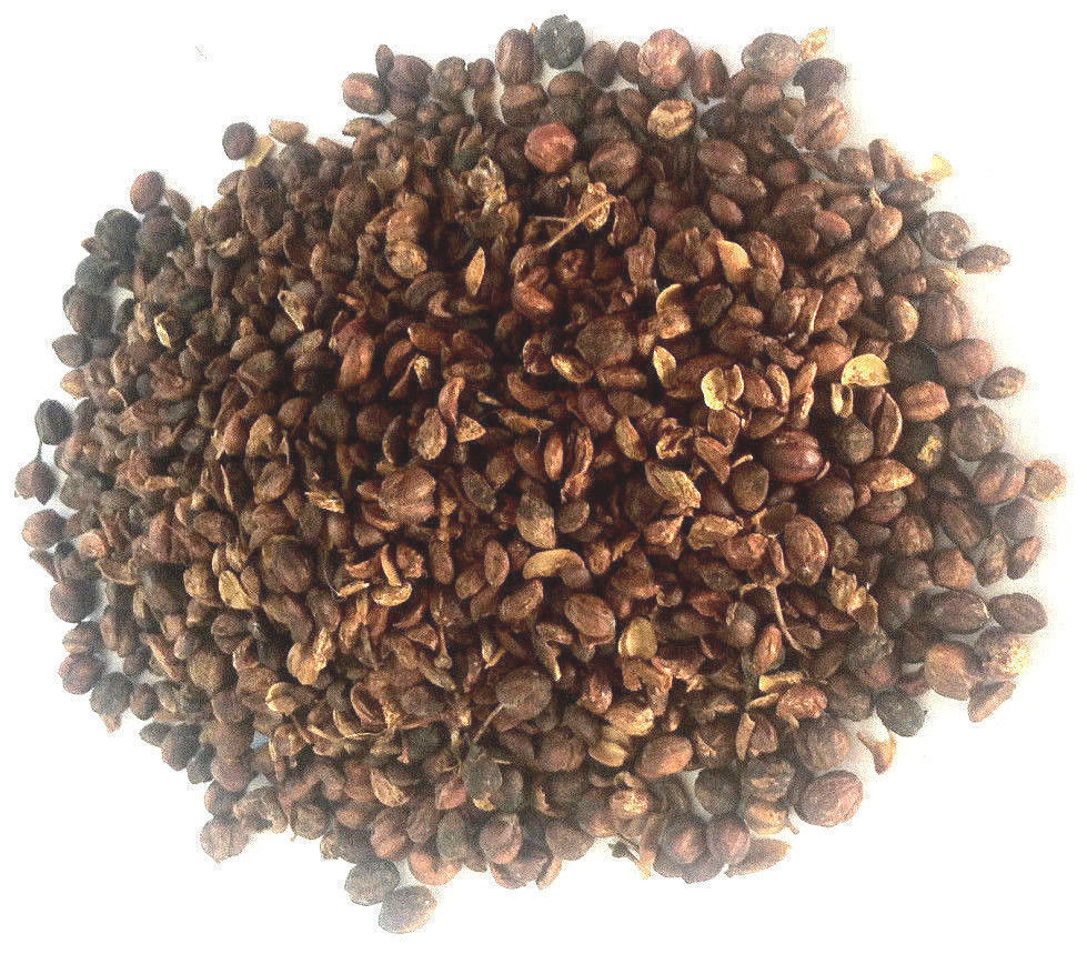 1kg Celastrus Paniculatus Seeds Wildharvested India