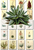 ALOE-1 Collection of 140 vintage images botanic... - $6.99