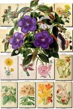 FLOWERS-116 Collection of 144 vintage images Achimenes Chrysanthemum Cal... - $6.99