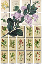 FLOWERS-117 Collection of 105 vintage images Acacia Echinacea Odontoglos... - $6.99