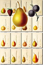 FRUITS VEGETABLES-27 Collection of 135 vintage images Pear pyrus Pears c... - $6.99